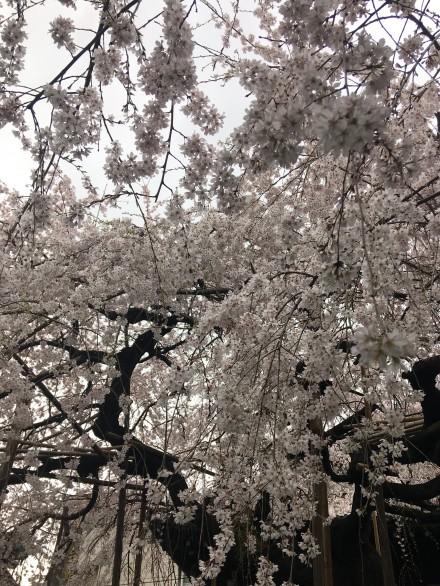 桜 写真2